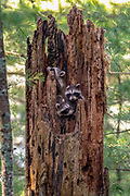 Three raccoon babies peer from the safety of their den tree.