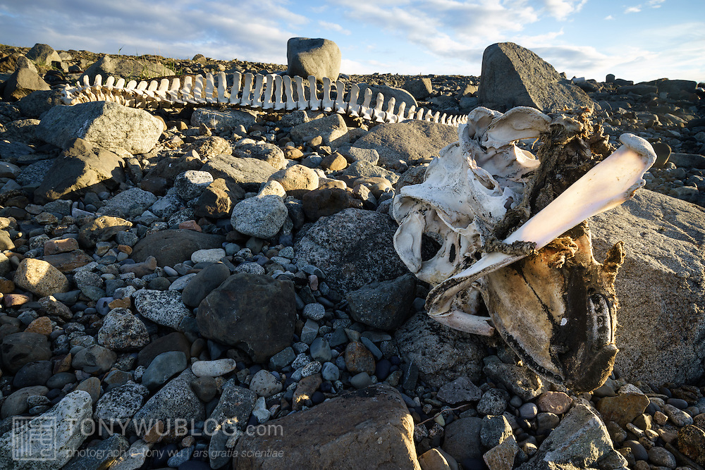 Skeleton of a stranded cetacean, likely a long-finned pilot whale (Globicephala melas), skull visible in the foreground, complete spinal column behind. The skeleton was relatively high above the water line, with only a little bit of flesh on the skull. Estimated length around five meters. Photographed in southeast Iceland, near Stokksnes.
