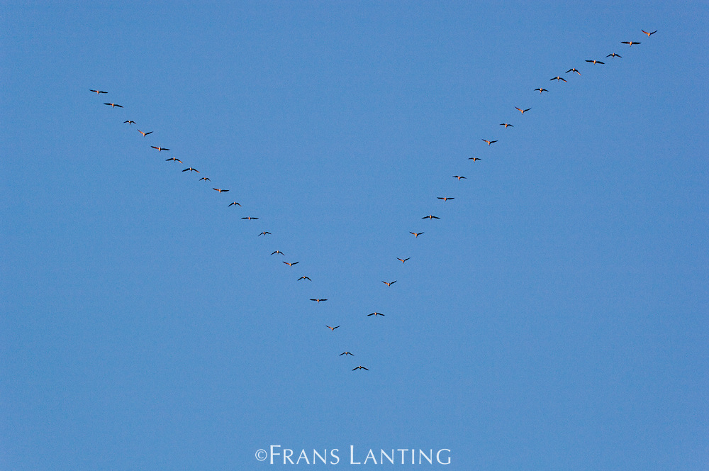 Migrating pink-footed geese, Anser brachyrhynchus, East Greenland