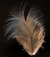 Blue Crown Pigeon