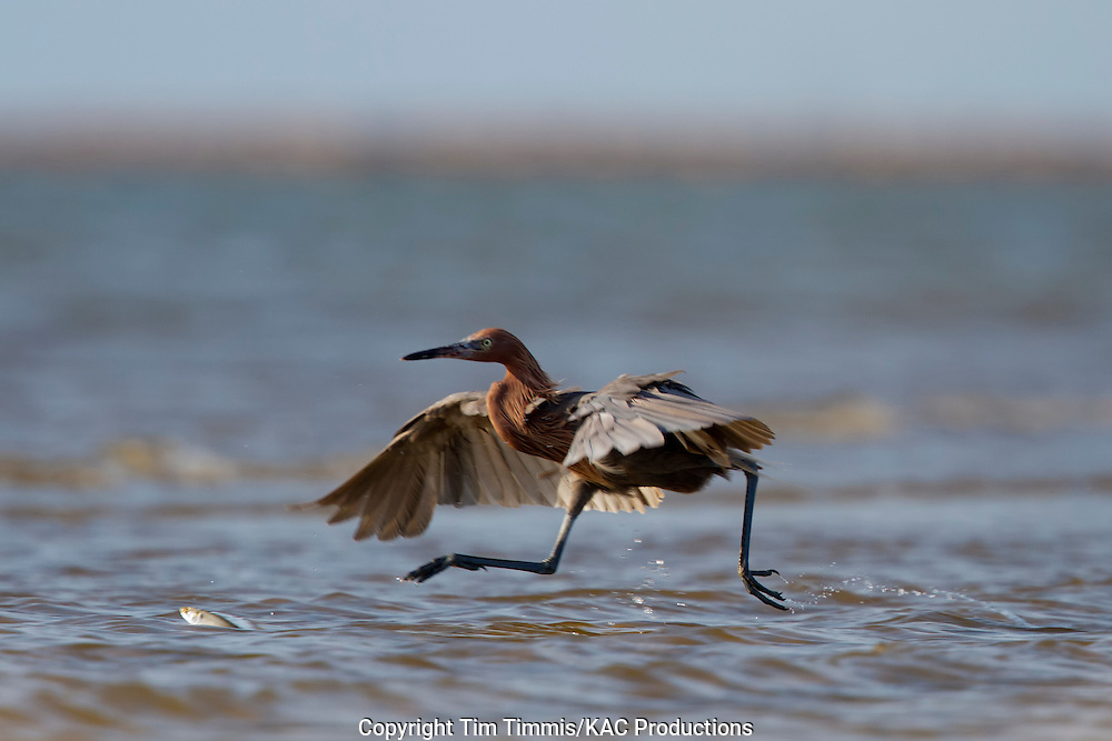 Reddish Egret, Egretta rufescens, Bolivar Flats, Texas gulf coast, fishing with wings extended, chasing a fish, fish out of water