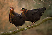 Two hens cling to a branch having climbed a tree.