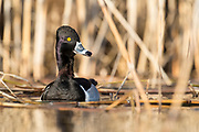 Ring-necked Duck, Aythya collaris , male, Saginaw Bay, Michigan