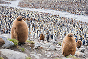 Two King Penguin (Aptenodytes patagonicus) chicks, St Andrews Bay, South Georgia Island, South Atlantic Ocean