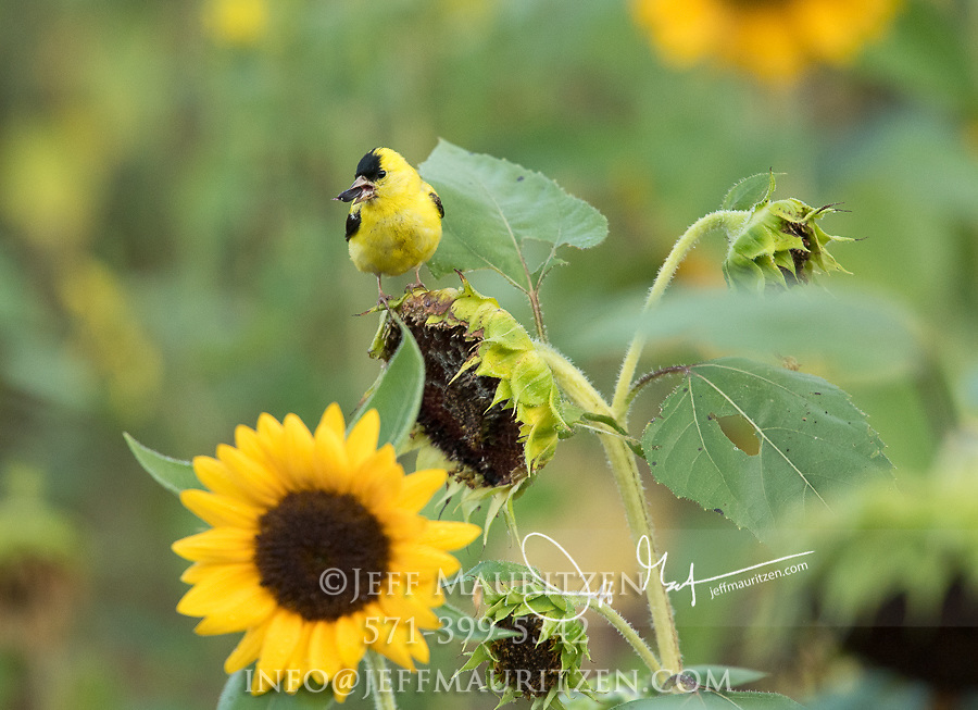 An American goldfinch perches on a sunflower and eats a seed.