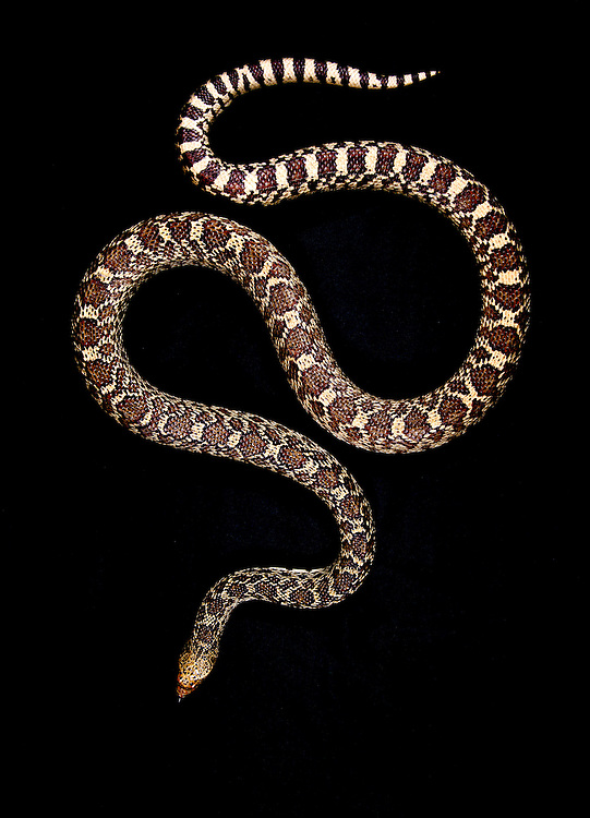 Gophersnake, Pituophis Cantenifer;<br /> Photographer:  Robert Rommel <br /> Property:  Sick Dog Ranch / Mitchell &amp; Dianne Dale, Michael Dale<br /> Jim  Wells County