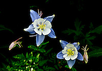 Blue Columbine (Aquilegia coerulea) Found though out the Rockies from the foothills to the alpine life zones.
