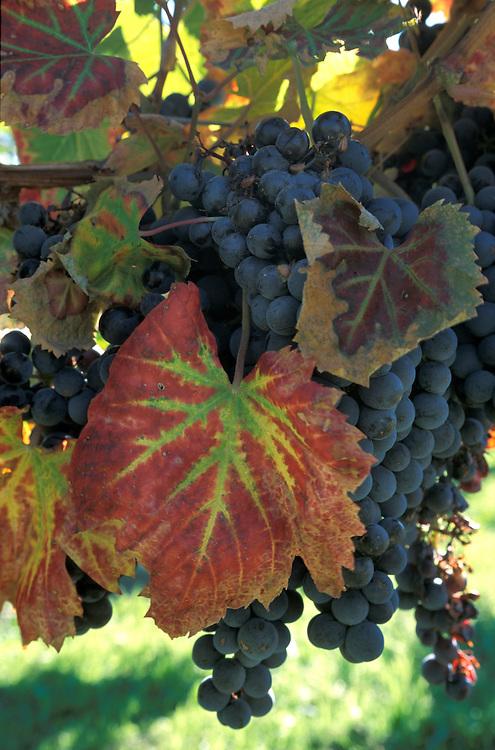 Grapes, Penticon, Okanagan Valley, British Columbia, Canada