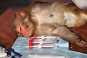 (1992) Using Rhesus monkeys, the National Institute of Health is attempting to develop retro-viral free (Herpes-B free) monkeys because virus-carrying monkeys can throw off test results. The goal is to minimize inbreeding to insure a pure test breed.  Human probes are being used to identify polymorphism in monkeys, and the monkeys' blood samples are DNA fingerprinted.  Monkeys are moved among half-acre outdoor pens and other smaller cages thereby minimizing inbreeding. University of California Davis, Department of Anthropology. DNA Fingerprinting..