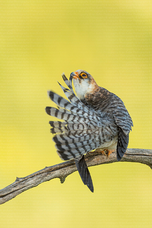 Female Red-footed Falcon (Falco vespertinus) preening tail on branch, Hortobagy National Park, Hungary, June, 2012.