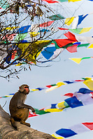 A macaque monkey sits in a tree surrounded by prayer flags at the Swayambhunath Temple. The temple sits atop a hill west of Kathmandu, Nepal.