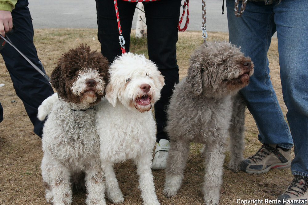 Lagotto romagnolo, a breed of dog that comes from the Romagna sub-region of Italy. A gundog, specifically a water retriever. vannhund fra Italia. Skal være allergivennlig.