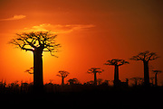 Boabab trees (Adansonia grandidieri) silhouetted at sunset. Madagascar