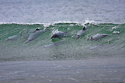 A pod of playful Hector's dolphins dance in out of the surf at Porpoise Bay, in the Catlins, New Zealand