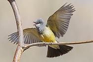 Cassin's Kingbird - Tyrannus vociferans