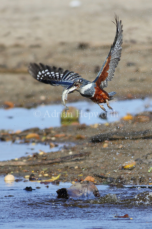 Female Ringed Kingfisher (Ceryle alcyon) catching a fish. Stream next to a beach in Guanacaste, Costa Rica, Central America.