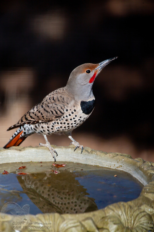A Northern Flicker stops on a birdbath in Northern Arizona to have his photograph taken.