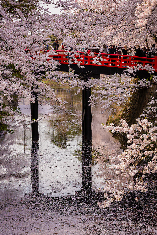 Hundreds of tourists pass through the bridge of Hirosaki Castle every day, to photograph themselves framed with the castel and cherry trees