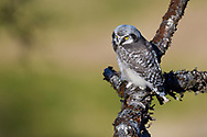 Fledgling chick, Northern Hawk Owl, Surnia ulula, Varanger National Park, Norway