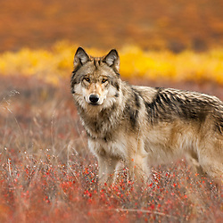 Wolf in the fall colors of the tundra of Denali National Park..........