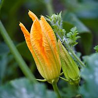 Male zucchini flowers.
