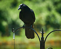American Crow. Image taken with a Nikon D850 camera and 200-500 mm f/5.6 VR lens