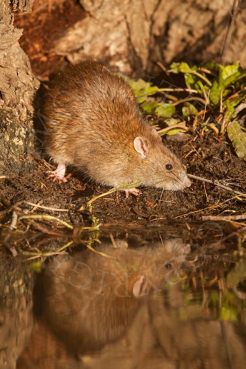 Brown Rat (Rattus norvegicus) adult, at water's edge, Norfolk, UK.