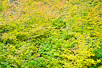 Vine Maple (Acer circinatum) in autumn, Mount Rainier National Park, WA, USA