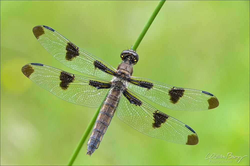 12 Spotted Skimmer (female)