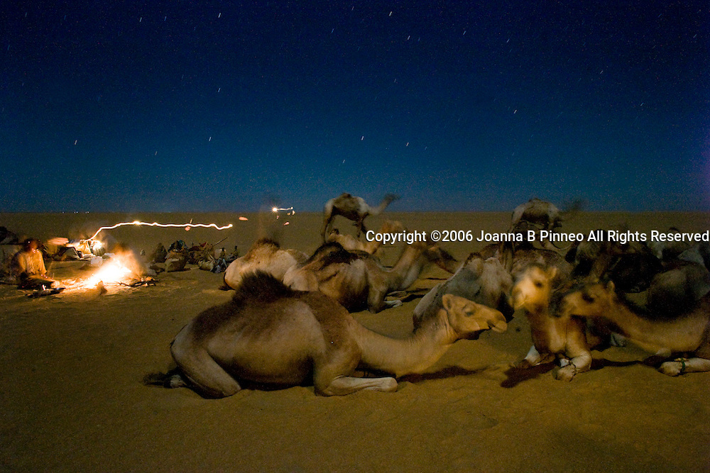 Camels settle down for the night in the Sahara Desert in northern Sudan. 150,000 camels travel to Egypt yearly.