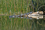 Common Cooter Turtles Basking in the Florida Sun at Wakulla Springs State Park.