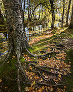 Th trunk and leaf-covered roots of one of the magnificent trees that border the Covão da Ametade Canal, at Serra da Estrela mountain range.