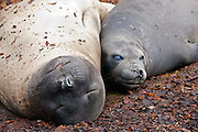 A mature female southern elephant seal and young rest on the kelp weed in the Falkland Islands
