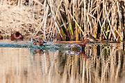 Cinnamon Teal, Anas cyanoptera, male, Washoe County, Nevada