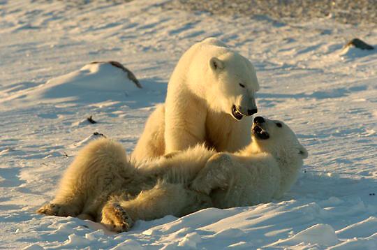 Polar Bear (Ursus maritimus) Mother and cub playing. Churchill, Manitoba. Canada. Winter.