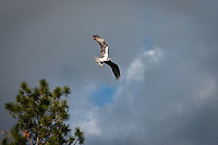 JEROME A. POLLOS/Press..A osprey released after it was rehabilitated for an injury flies above the Spokane River.