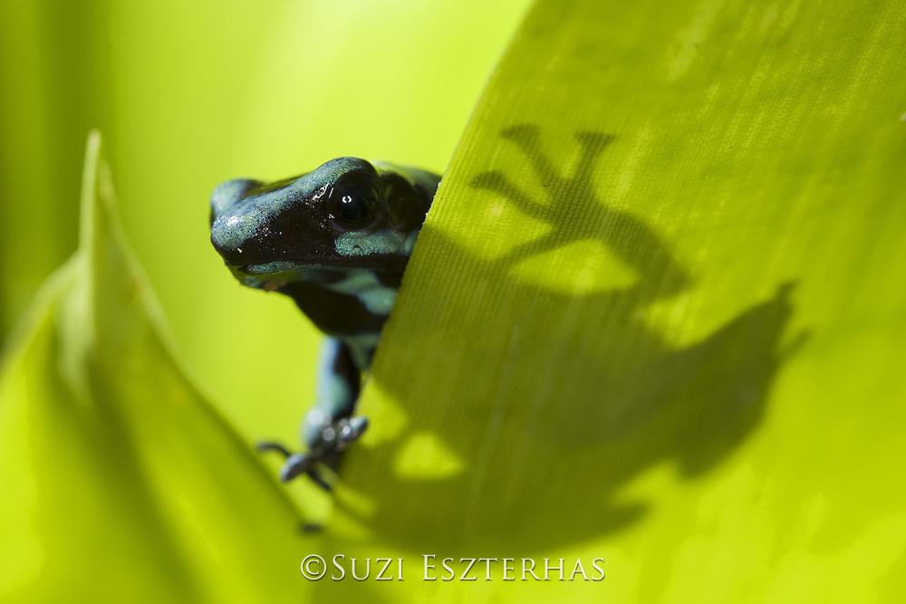 Green and Black Poison Dart Frog <br /> Dendrobates auratus<br /> Osa Peninsula, Costa Rica
