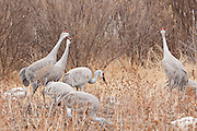 """Bosque del Apache National Wildlife Refuge, New Mexico, Sandhill Cranes (Grus canadensis) calling and displaying as part of a """"personal space"""" dispute"""