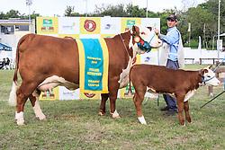 Grande campeã da raça Polled Hereford na 38ª Expointer, que ocorrerá entre 29 de agosto e 06 de setembro de 2015 no Parque de Exposições Assis Brasil, em Esteio. FOTO:Vilmar da Rosa/ Agência Preview