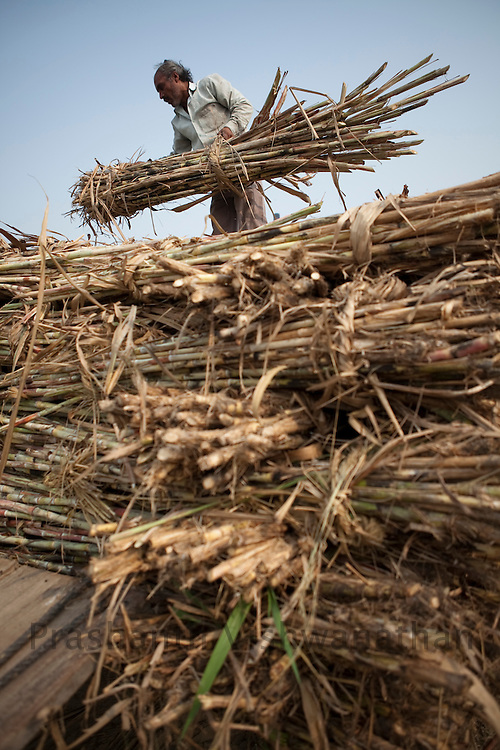 Farmers load  cut sugarcane stalks onto a tractor in the outskirts of Modi Nagar, in Uttarpradesh, India, on Friday, November 12, 2010. Photographer: Prashanth Vishwanathan/Bloomberg News