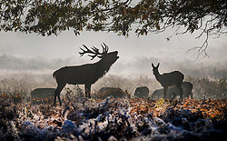 © Licensed to London News Pictures. 06/11/2017. London, UK.  A stag bellows at first light as frost covers the bracken in Richmond Park. Parts of the UK are experiencing freezing temperatures today. Photo credit: Peter Macdiarmid/LNP