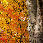 """Under the Old Maple Tree"" 2<br />