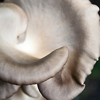 Oyster mushrooms (Pleurotus ostreatus)