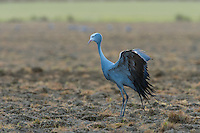 Blue Crane standing with raised wings in a ploghed field, Overberg, Western Cape, South Africa