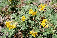 Buffalo Bur (Solanum rostratum), Llano County, Texas