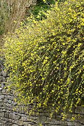 Jasminum nudiflorum growing over a wall. Winter jasmine