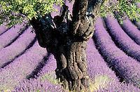 France - Provence -Alpes Haute Provence - Plateau de Valensole -  Champs de Lavande