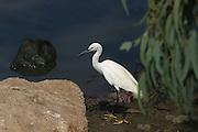 Little Egret (Egretta garzetta) Photographed in Israel in August