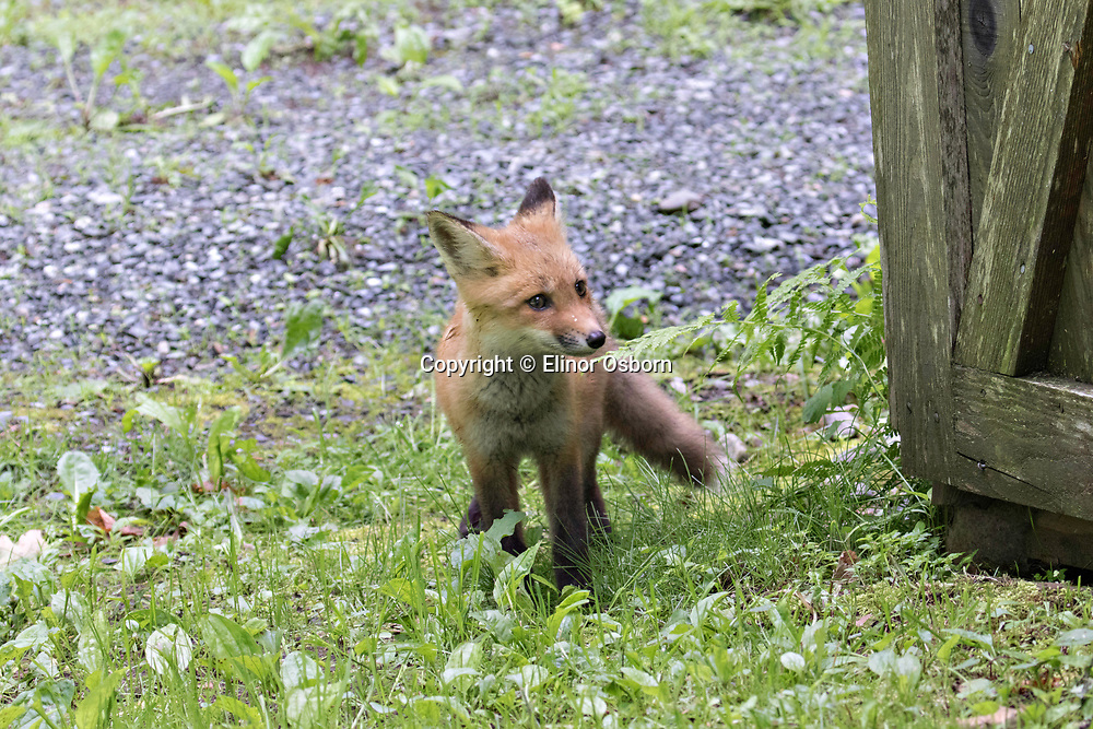 young red fox running