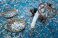 Myanmar, Ngapali. Woman dries fish. <br /> Every single morning all the fisherman from the little village at Ngapali Beach come back home with their night catch. At the beach all the women wait for them and afterwards work with drying and selling fish and other creatures from the sea begins.